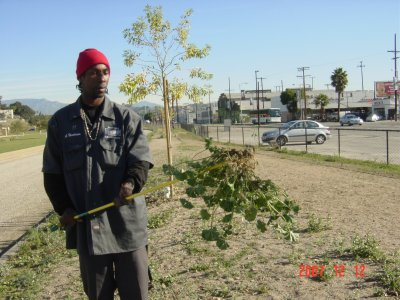 Homeboy Industries Maintenance Specialist removing large mallow weed with the Ergonica Weed Twister - Click for larger image!